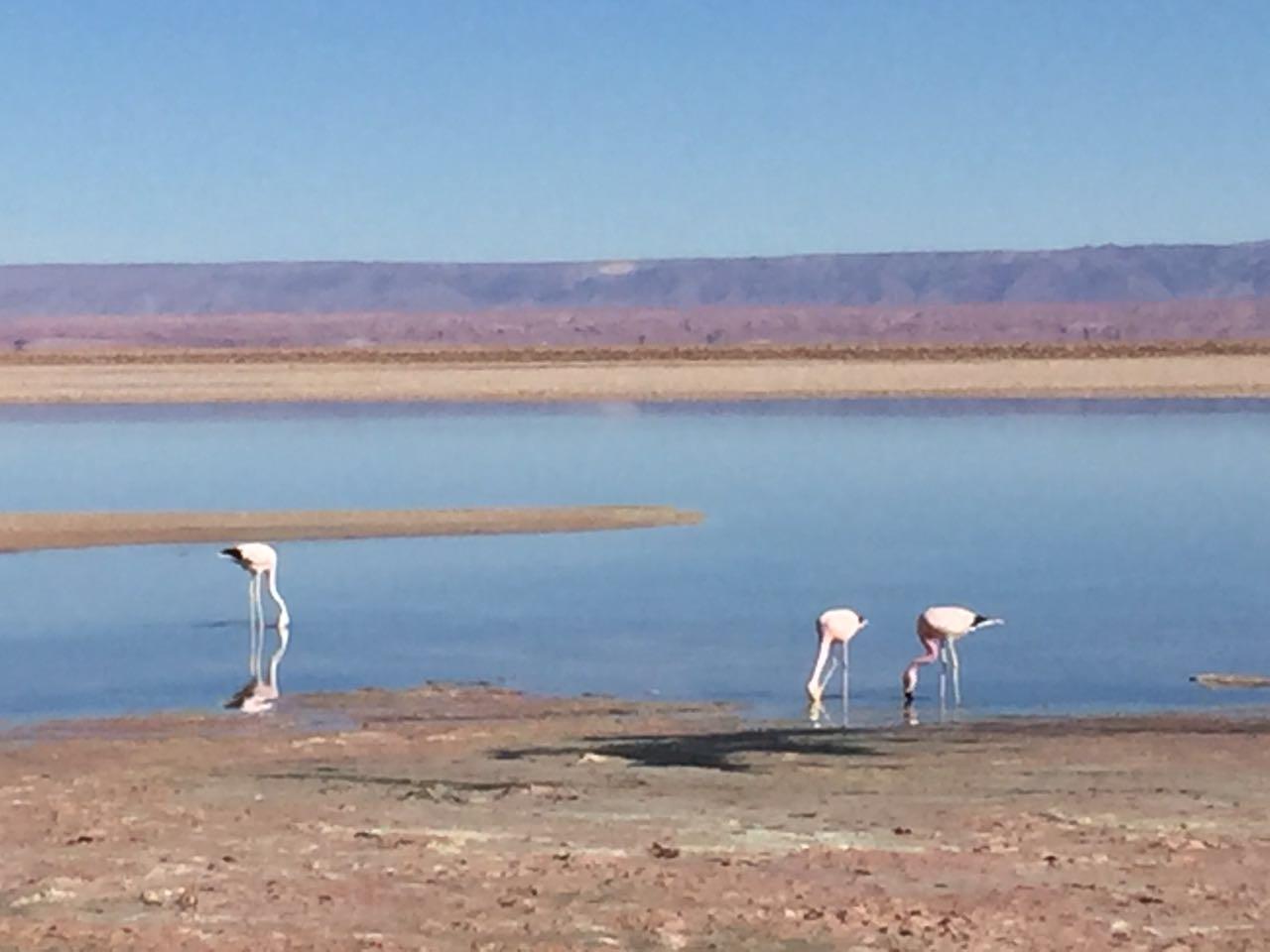 """Esses flamingos na reserva nacional de """"Los Flamencos"""" na Laguna de Chaxa se reproduzem aí mas não são monogâmicos."""
